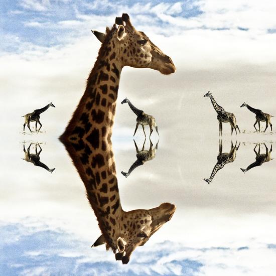 Girafes au carré